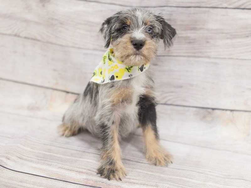 Miniature Schnauzzie-Male-Blue Merle-2020865-Petland Wichita, KS