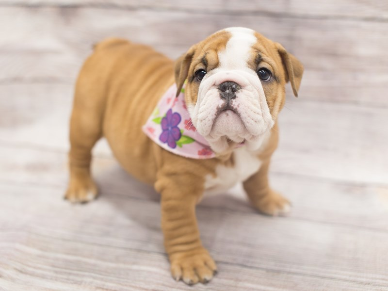 English Bulldog-DOG-Female-Fawn and White-2020770-Petland Wichita, KS