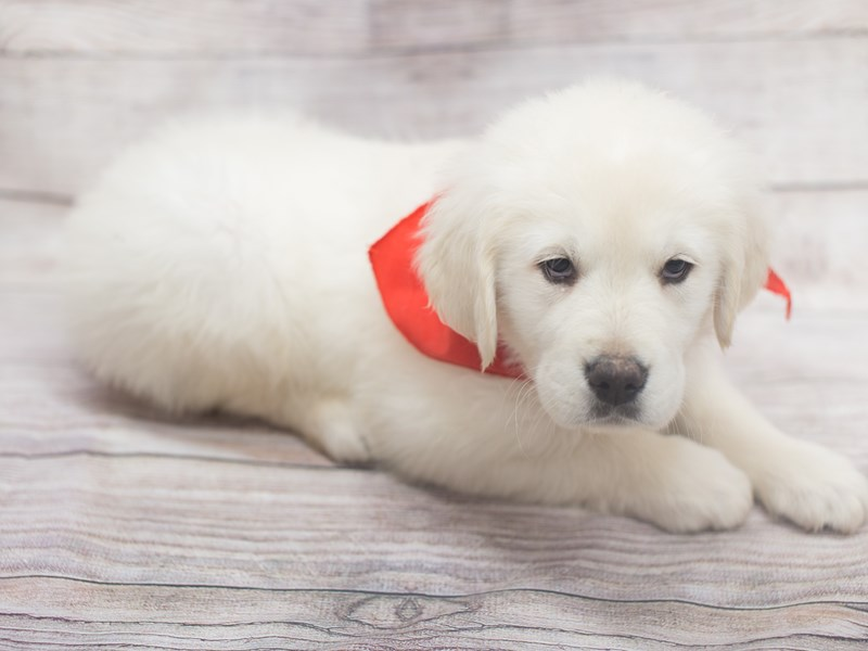 English Cream Golden Retriever-DOG-Male-Cream-2020760-Petland Wichita, KS
