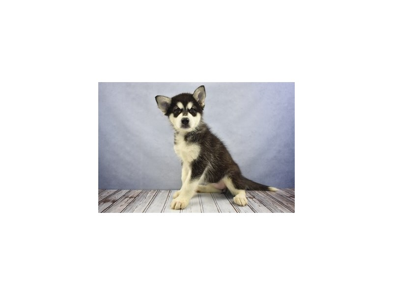 Alaskan Malamute-Female-Black and White-2031426-Petland Wichita, KS