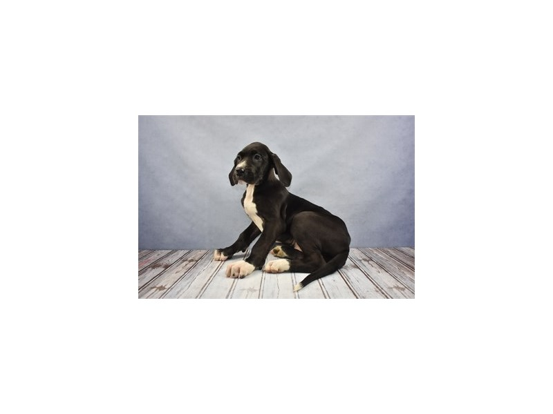 Great Dane-DOG-Female-Black-2031493-Petland Wichita, KS