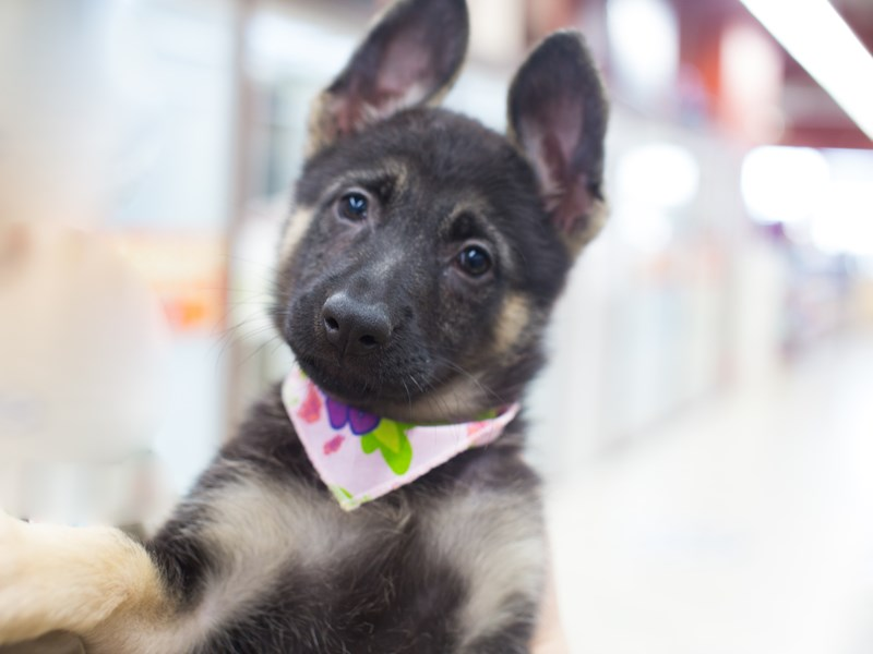 German Shepherd-Female-Black and Tan-2029675-Petland Wichita, KS
