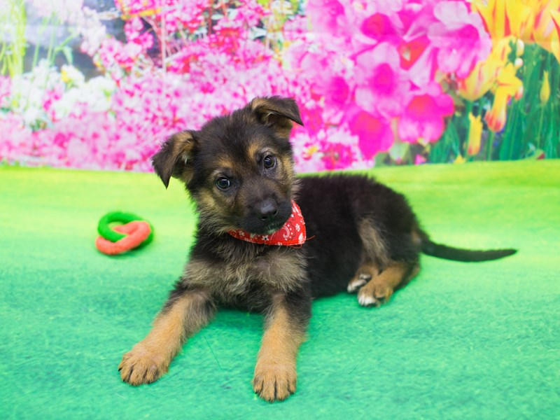 German Shepherd-Male-Black and Tan-2029673-Petland Wichita, KS