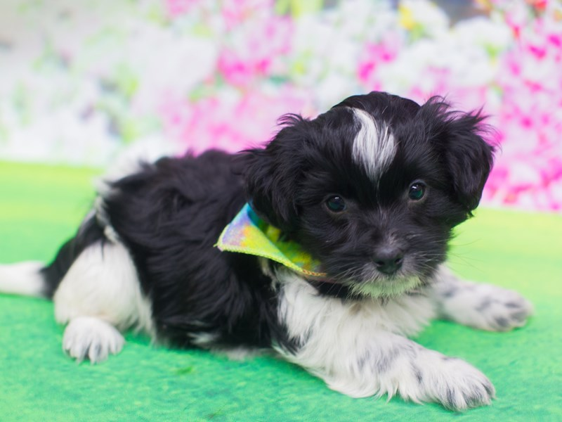 Havanese-DOG-Male-Black and White-2039624-Petland Wichita, KS