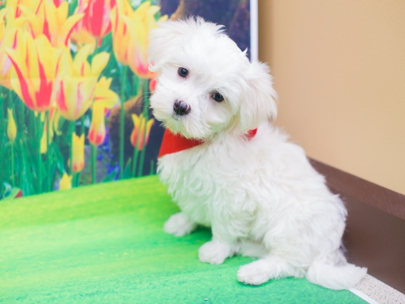 Maltese-DOG-Male-White-2039615-Petland Wichita, KS