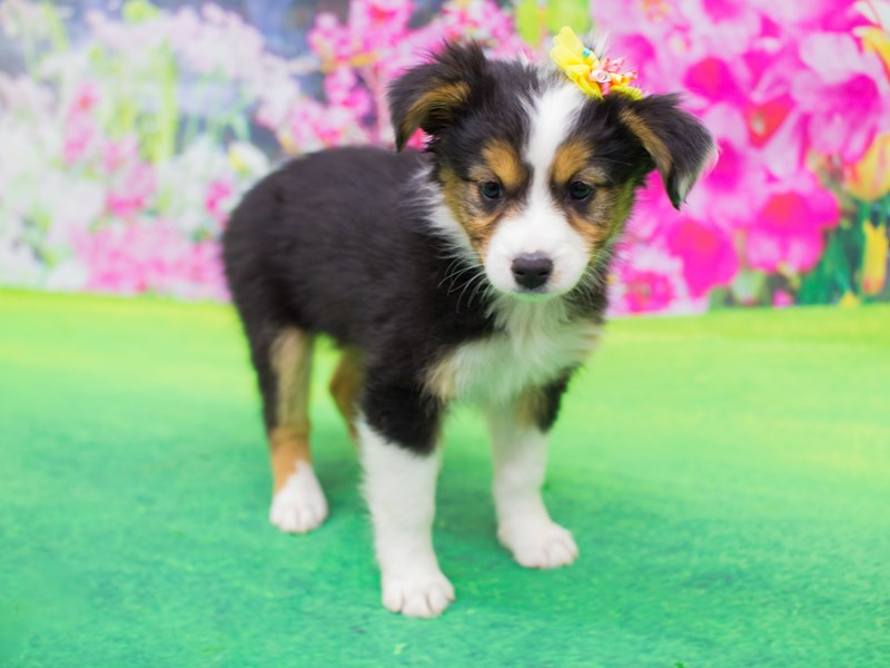 Miniature Australian Shepherd-DOG-Female-Black Tri-2047287-Petland Wichita, KS