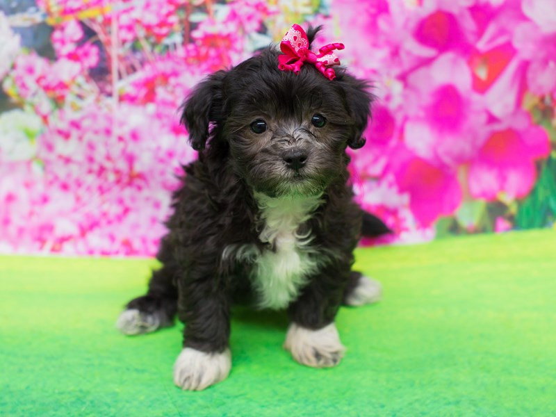 Lhasapoo-Female-Black-2055610-Petland Wichita, KS