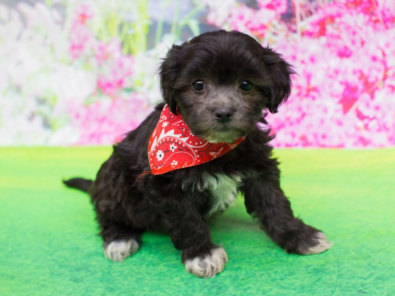 Lhasapoo-Male-Black-2055608-Petland Wichita, KS