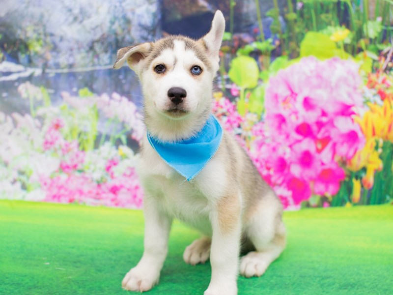 Siberian Husky-DOG-Male-Gray and White-2055185-Petland Wichita, KS