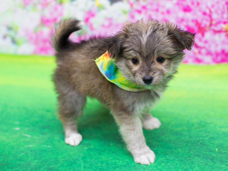 Toy Pompoo-DOG-Male-Cinnamon-2060302-Petland Wichita, KS