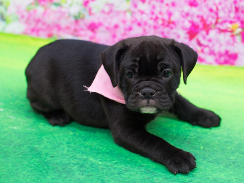 Mini Bulldog-Female-Black-2060299-Petland Wichita, KS