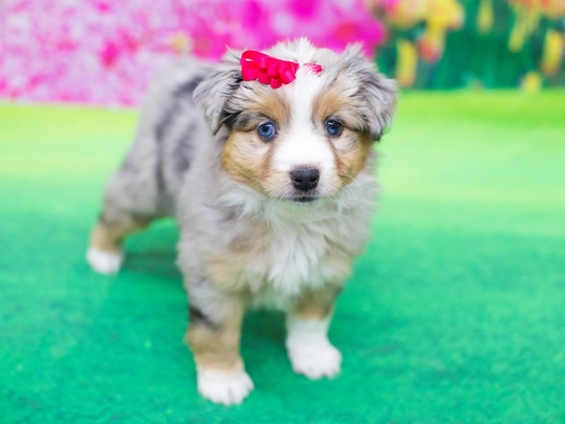 Miniature Australian Shepherd-DOG-Female-Blue Merle-2057986-Petland Wichita, KS