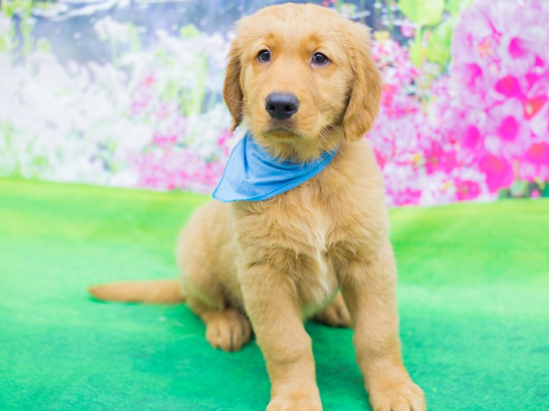 Golden Retriever-DOG-Male-Golden-2069476-Petland Wichita, KS