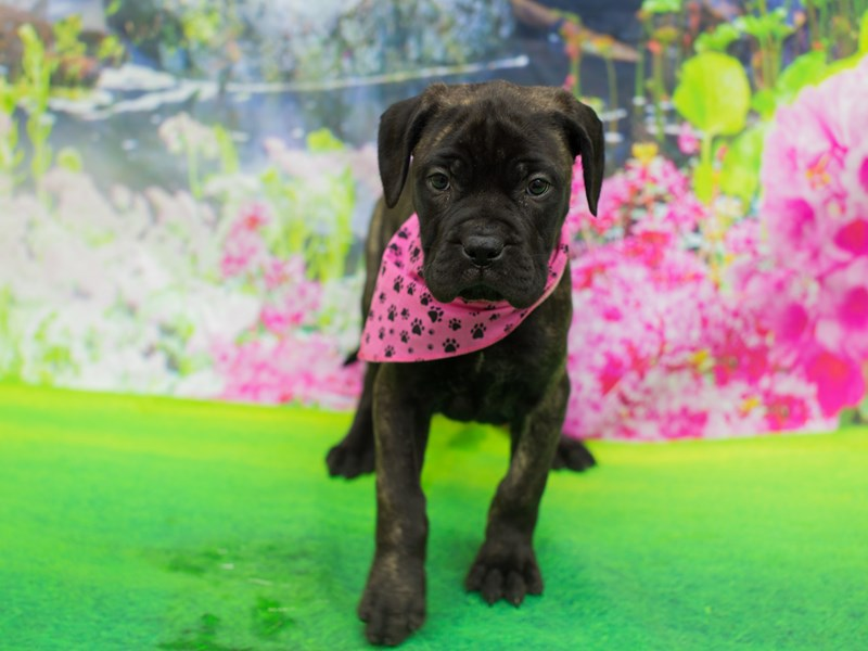 Bullmastiff-Female-Brindle-2055202-Petland Wichita, KS