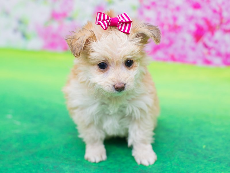Toy Pompoo-DOG-Female-Gold-2060304-Petland Wichita, KS