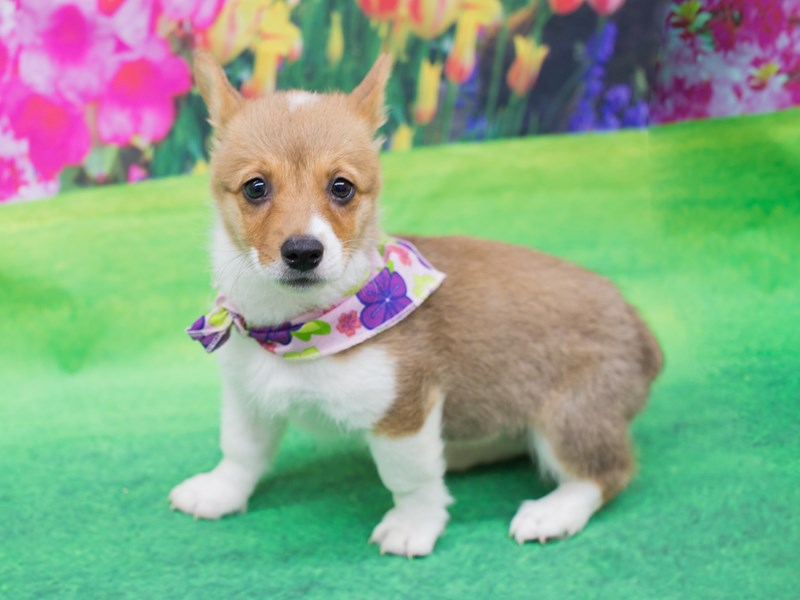 Pembroke/Cardigan Welsh Corgi-Female-Red and White-2069503-Petland Wichita, KS