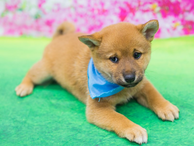 Shiba Inu-DOG-Male-Sesame-2076160-Petland Wichita, KS