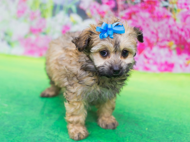 Miniature Aussiedoodle-Female-sbl-2067175-Petland Wichita, KS