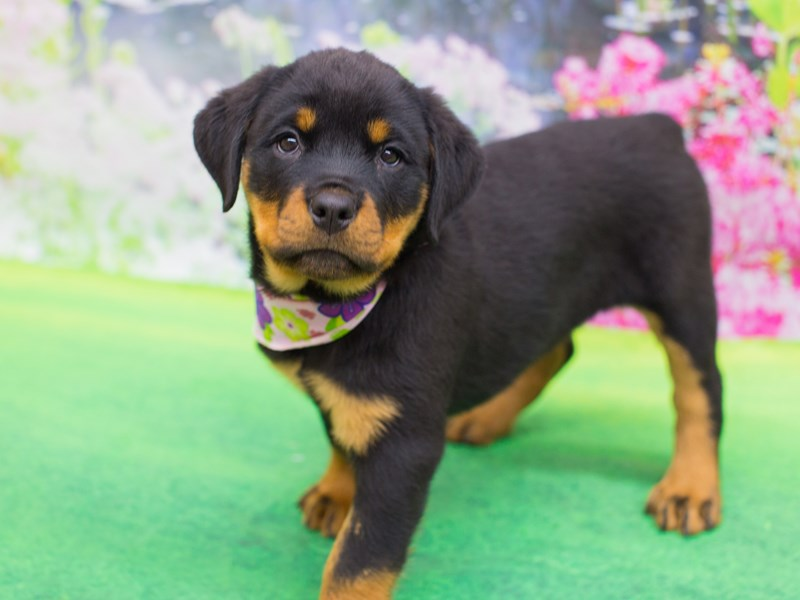 Rottweiler-Female-Black and Rust-2075820-Petland Wichita, KS
