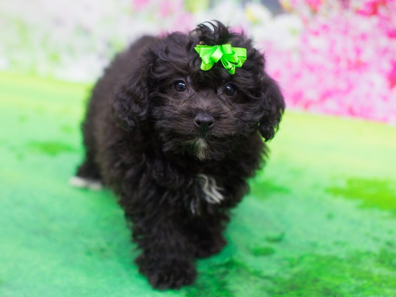 Bichon Poo-Female-Cafe-2075795-Petland Wichita, KS