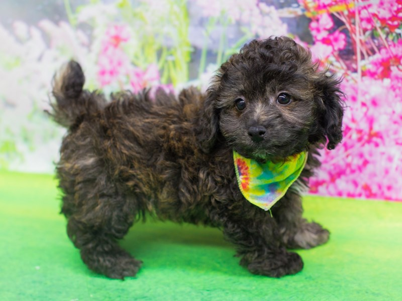 Bichon Poo-Male-Cafe-2075794-Petland Wichita, KS