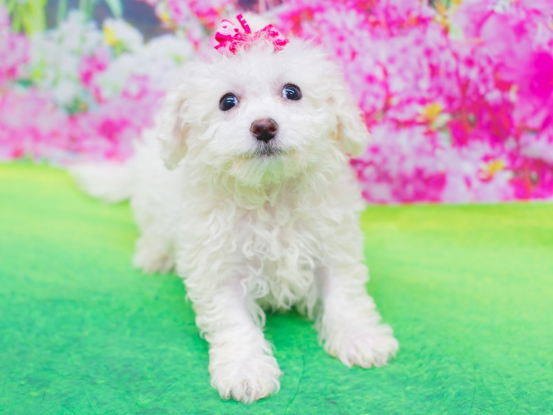 Bichon Frise-Female-White-2075793-Petland Wichita, KS