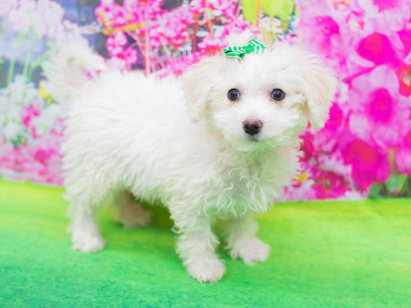 Bichon Frise-Female-White-2075792-Petland Wichita, KS