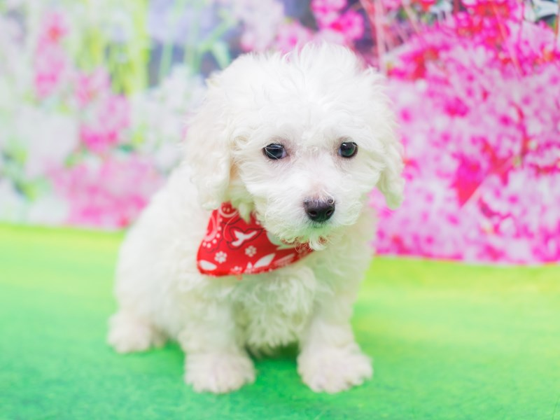Bichon Frise-Male-White-2075790-Petland Wichita, KS