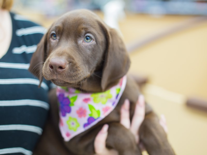 Labrador Retriever-DOG-Female-Chocolate-2081044-Petland Wichita, KS