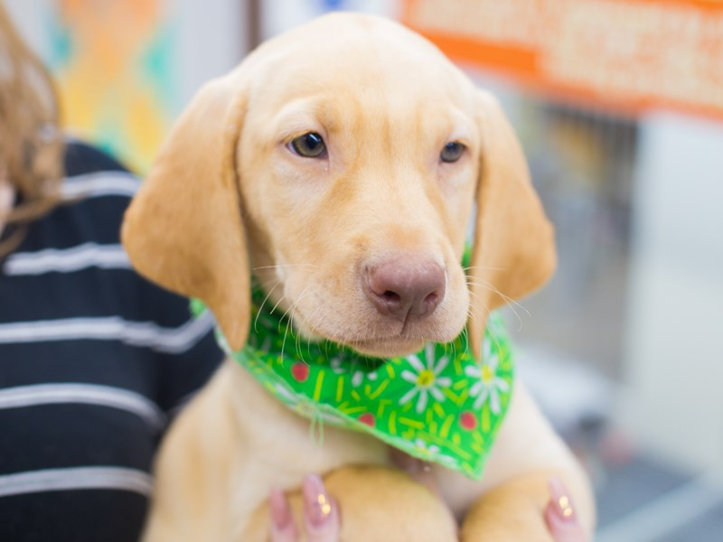 Labrador Retriever-DOG-Male-Yellow-2081042-Petland Wichita, KS