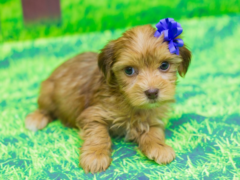 Yorkshire Terrier-DOG-Female-Gold-2085799-Petland Wichita, KS