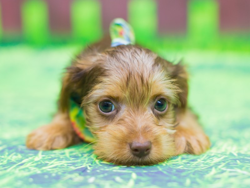 Yorkshire Terrier-DOG-Male-Chocolate and Tan-2085801-Petland Wichita, KS