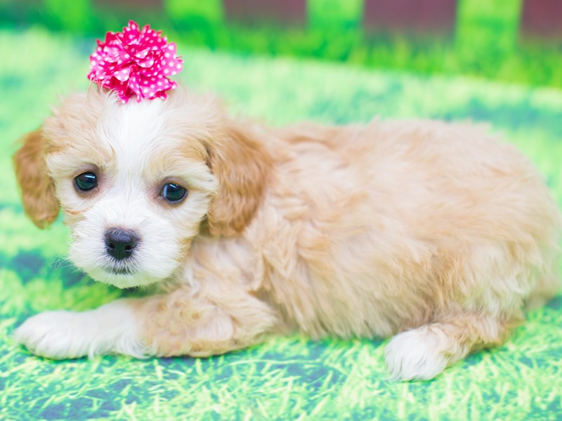 Cavachon-Female-blenheim-2085844-Petland Wichita, KS
