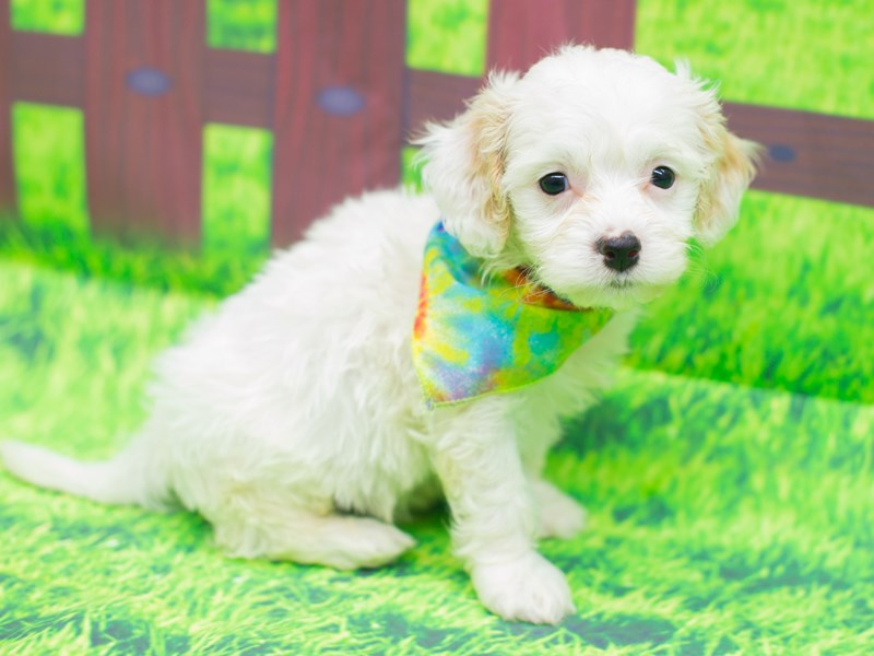 Cavachon-Male-White-2085842-Petland Wichita, KS