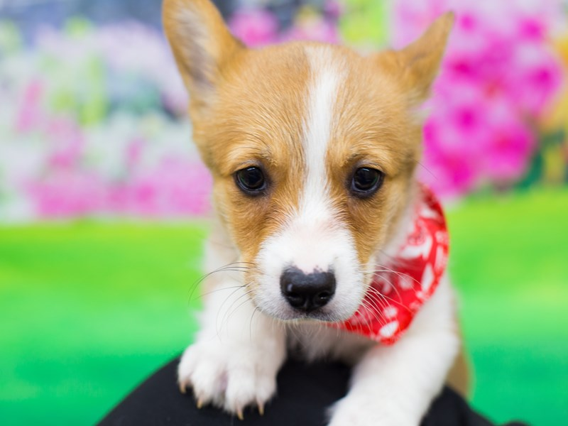 Pembroke/Cardigan Welsh Corgi-Male-Red and White-2069501-Petland Wichita, KS