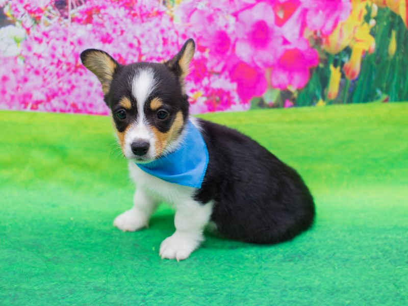 Pembroke/Cardigan Welsh Corgi-DOG-Male-Tri Color-2069500-Petland Wichita, KS