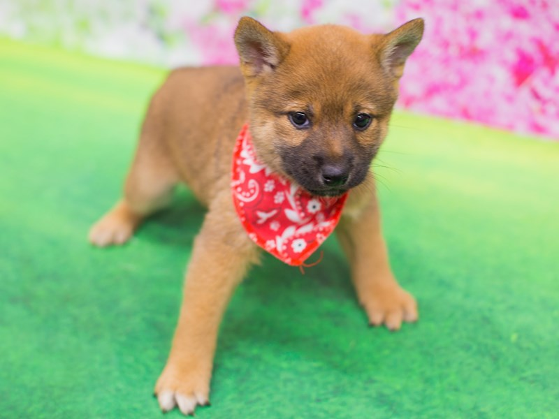 Shiba Inu-DOG-Male-Sesame-2076159-Petland Wichita, KS