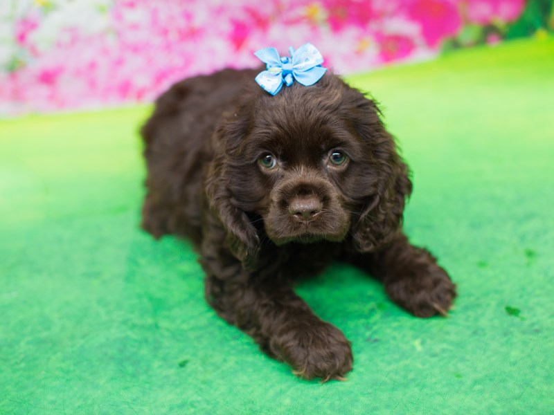 Cocker Spaniel-DOG-Female-Chocolate-2075707-Petland Wichita, KS
