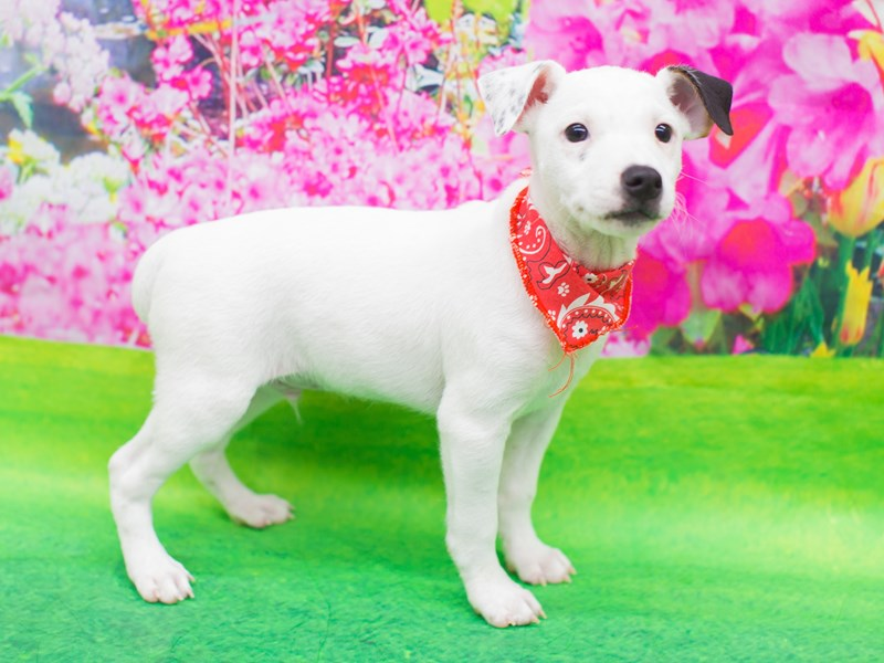 Jack Russell Terrier-Male-White with Black and Tan Markings-2081012-Petland Wichita, KS