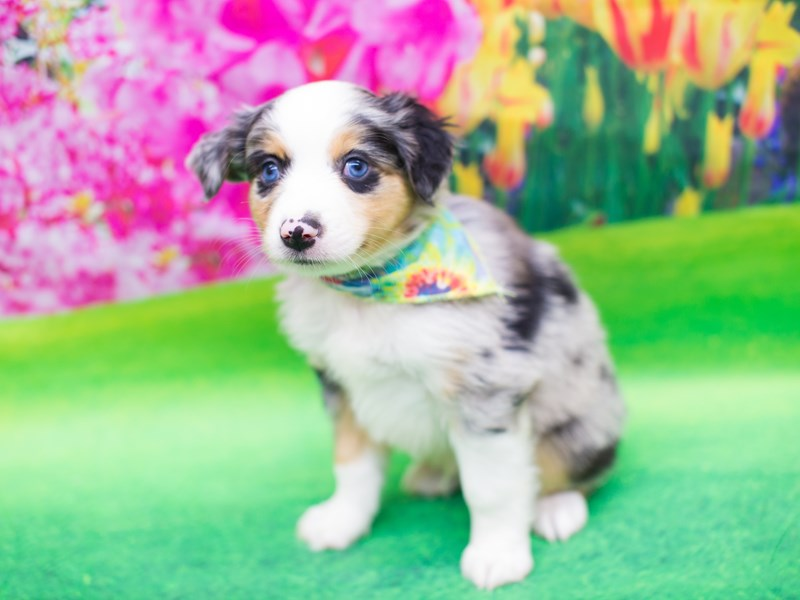Miniature Australian Shepherd-DOG-Male-Blue Merle-2080951-Petland Wichita, KS