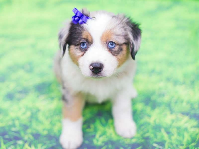 Miniature Australian Shepherd-DOG-Female-Blue Merle-2085657-Petland Wichita, KS