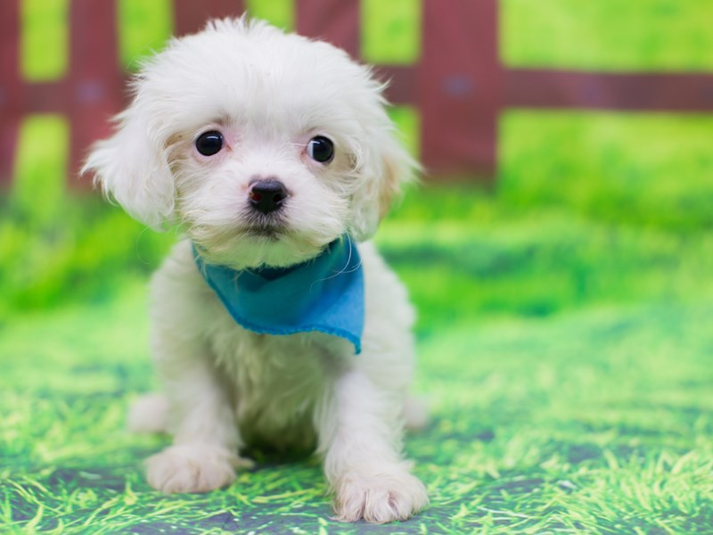 Cavachon-Male-White-2095766-Petland Wichita, KS