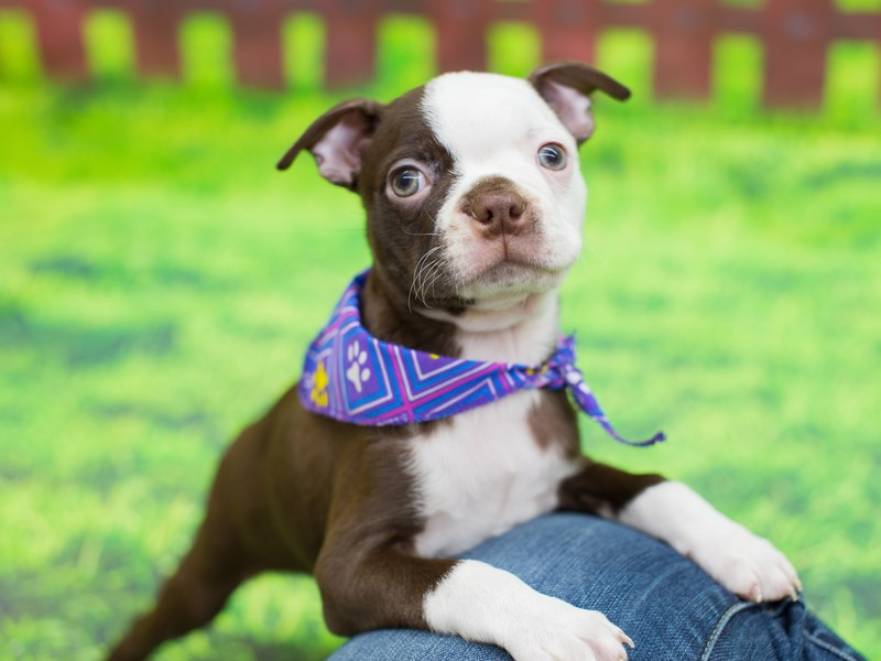 Boston Terrier-DOG-Female-Red and White-2085840-Petland Wichita, KS