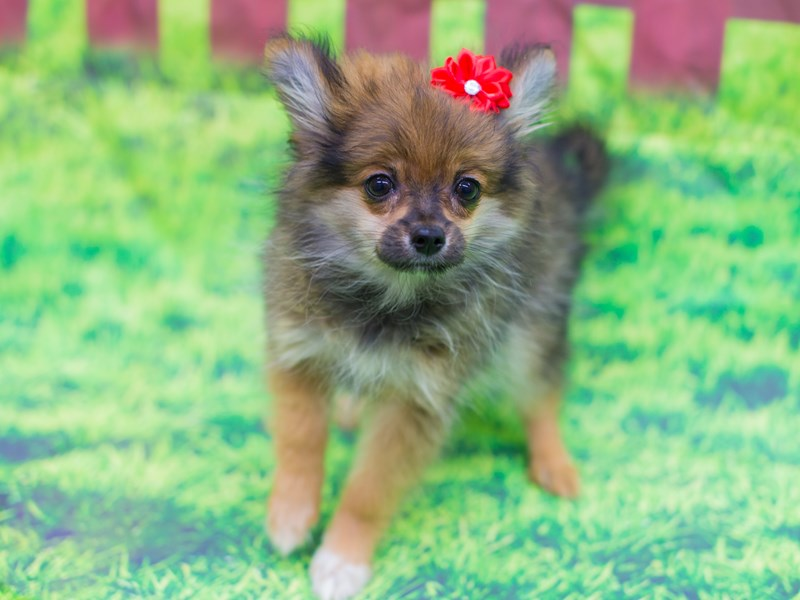 Pomeranian-DOG-Female-Dark Sable-2100204-Petland Wichita, KS