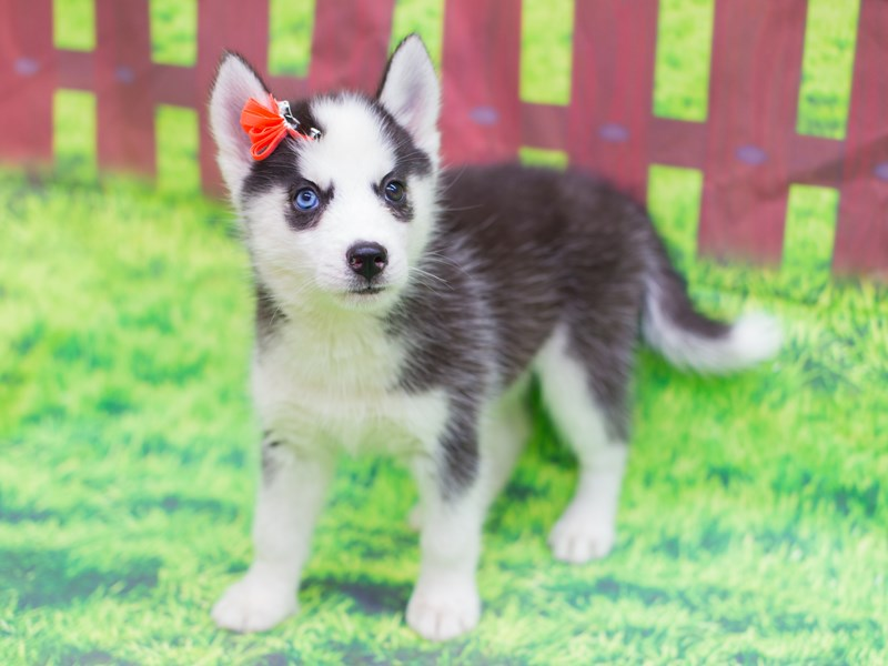 Miniature Husky Dog Female Black And