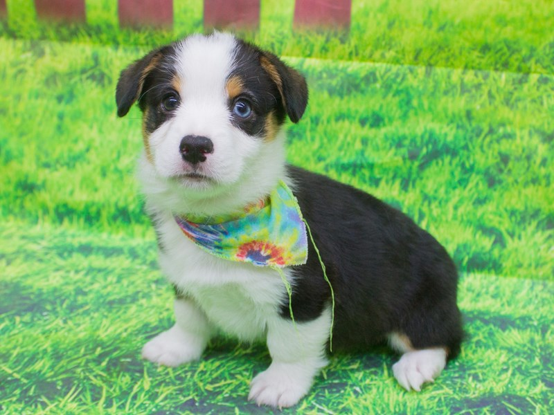 Pembroke/Cardigan Welsh Corgi-Male-tri color / one blue eye-2105904-Petland Wichita, KS