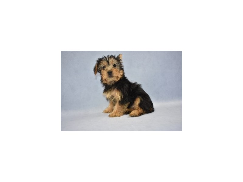 Silky Terrier-Female-Black and Tan-2110453-Petland Wichita, KS