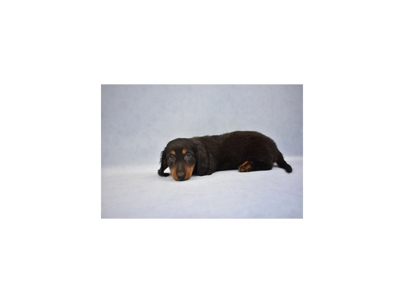 Dachshund-Female-Black and Tan-2110478-Petland Wichita, KS