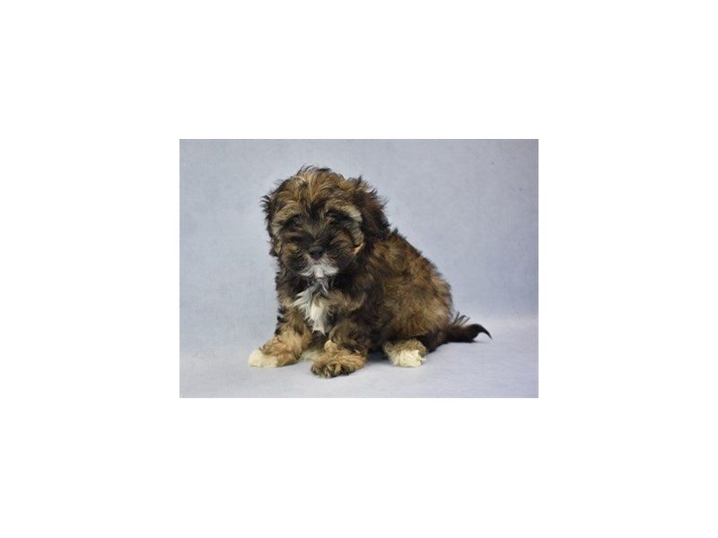 Malti-Poo-Male-Café-2115036-Petland Wichita, KS