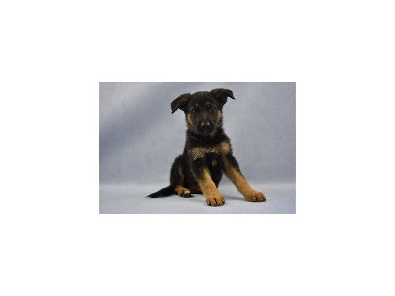 German Shepherd-Male-Black and Tan-2115198-Petland Wichita, KS